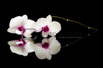 small branch of beautiful white dendrobium orchid with dark purple centers on black reflective surface