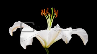white lily flower isolated on black background