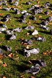 Relaxing Pigeons
