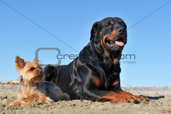 rottweiler and yorkshire terrier