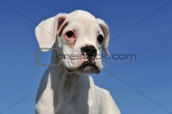 white puppy boxer