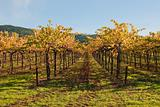 Ground Level View of Autumn Vineyard