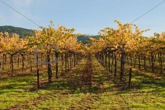 Ground Level View of Autumn Vineyard