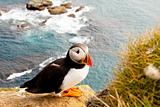 Colorful puffin in latrabjarg - Iceland