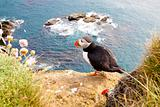 Puffin on the rock - Latrabjarg, Iceland