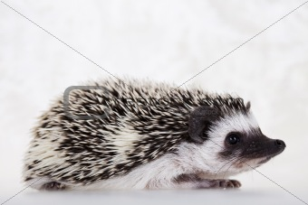 Autumnal animal, Hedgehog
