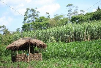 Bigodi Swamps - Uganda