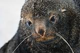 sad Fur Seal