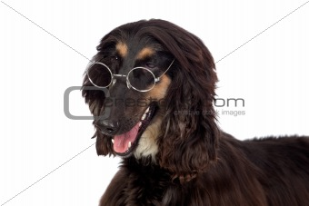 Arabian hound dog with glasses