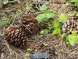 Pine Cone Closeup on the Forest Floor