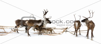 Four reindeers whis harnesses