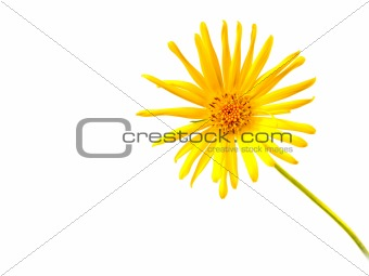 Bright Yellow Daisy Isolated on a White Background