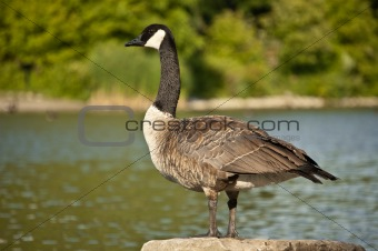 Canada Goose Standing on a Rock