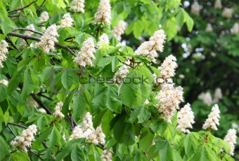 blossoming chestnut tree