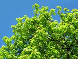 green tree on a blue sky background