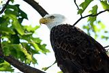 Bald Eagle Closeup in Tree in Northern Wisconsin