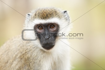 portrait of monkey