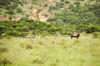 antelope kudu