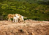 white lions in savanna