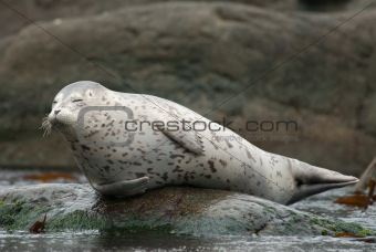 Smiling harbor seal