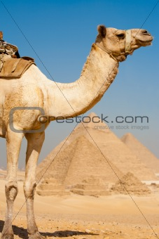 Half Camel Pyramids All Row