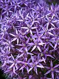 blossoming purple allium background