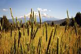 Shasta Grass