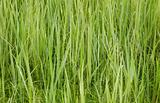 Green forage grasses - background