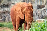 african elephants contaminated mud