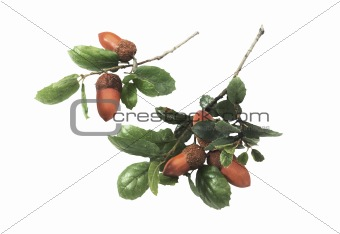 acorns oak isolated on white