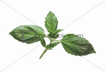 Fresh basil leaves isolated on a white background