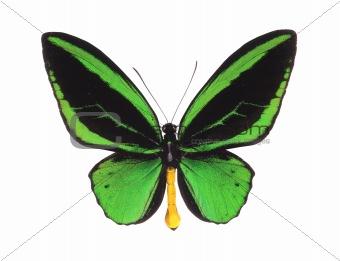 green butterfly (O priamus poseidon) isolated on white