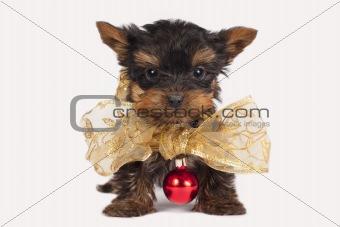 Cute Yorkshire terrier puppy.