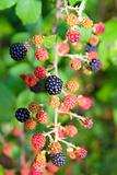 blackberry berries branch in plant selective focus