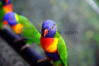 Parrots in rain forest.