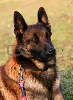 portrait of belgian shepherd