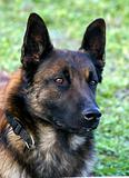 portrait of belgian shepherd