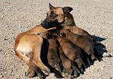 female shepherd and puppies
