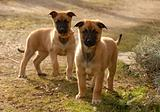 two puppies malinois