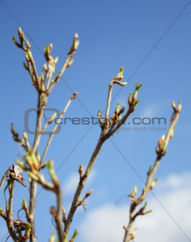 branch currant