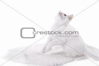 kitten on white fur