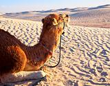 Camel lying on the sand in the desert