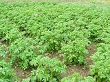 field with potatoes