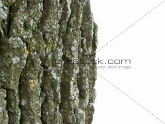 cortex of the oak on white background