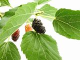 berry of the mulberry 