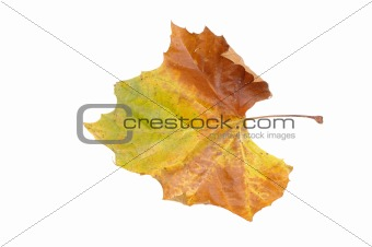 Autumn colors in a leaf