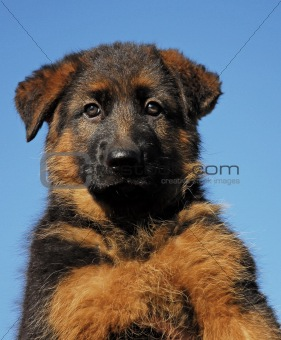 puppy german shepherd