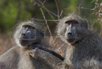 Chacma baboons engaging in mutual grooming
