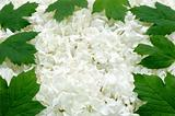 Guelder rose blossoms and leaves - background