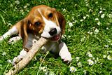 funny beagle puppy in  park